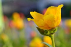Härlig gul blomma i morgonsolen royaltyfri foto