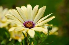 Härlig gul blomma i trädgård Royaltyfria Bilder