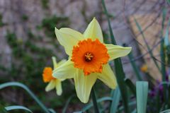 Härlig gul blomma i trädgården Arkivfoton