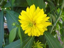 Härlig gul blomma i trädgården, dahlior Arkivfoton