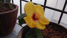 Härlig gul blomma med röd dragning arkivbild