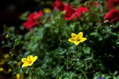 Härlig gul blomma på suddig bakgrund Fotografering för Bildbyråer