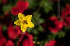 Härlig gul blomma på suddig bakgrund Arkivbilder