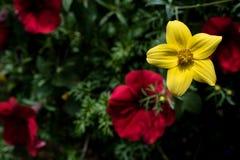 Härlig gul blomma på suddig bakgrund Arkivfoto