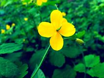 härlig gul blommaotta Royaltyfria Bilder
