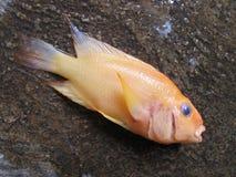 Härlig gul Cichlidfisk, populär asiatisk fisk, fisk för röd jäkel royaltyfri foto