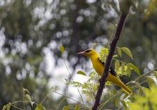 Härlig gul fågel Arkivfoto