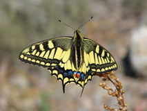 Härlig gul fjäril - ett foto 8 Royaltyfri Foto