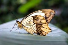 Härlig gul fjäril på ett blad royaltyfri fotografi