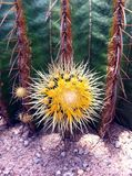 Härlig gul kaktusblomma Royaltyfri Fotografi