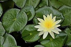 Härlig gul lotusblomma i sjöbakgrund Royaltyfria Bilder