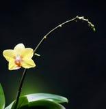 Härlig gul orchid Arkivbild