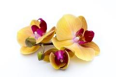 Härlig gul orkidé på den vita bakgrunden Arkivfoto