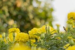 Härlig gul ringblommaväxt i trädgården royaltyfri foto