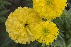 Härlig gul ringblommaväxt i trädgården royaltyfria bilder