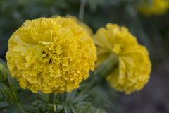 Härlig gul ringblommaväxt i trädgården arkivbild