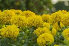 Härlig gul ringblommaväxt i trädgården royaltyfri fotografi