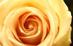 Härlig gul rosa närbild Royaltyfri Foto