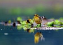 Härlig gul sädesärla Arkivfoto