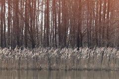Härlig gul säv som växer på en sjö på en solig dag i spr fotografering för bildbyråer