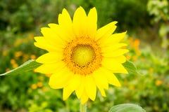 Härlig gul solroscloseup Arkivfoton