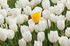 Härlig gul tulpan över vita tulpan i trädgården Arkivbild