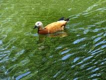 Härlig guld- andsimning i det gröna sjövattnet royaltyfri fotografi