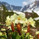 Härlig guld- blommarhododendron Aureum på bakgrund av berg Royaltyfri Foto