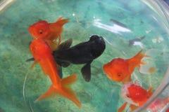 Härlig guldfisk i en fishbowl Arkivbild