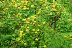 Härlig guling blommar på buskar i parkera Baden - Baden Royaltyfri Bild