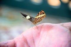 Härlig guling- och bruntfjäril med öppnade vingar som sitter nolla fotografering för bildbyråer