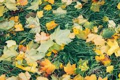 Härlig guling och lekmanna- stupat för röda lönnlöv på jordningen i parkera Arkivbilder