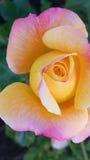 Härlig guling- och rosa färgros Arkivfoto