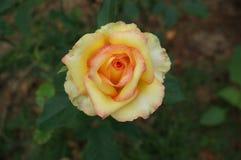 Härlig gulingrosblomma, ut dörr Arkivfoto