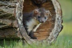 Härlig gullig bokträdmård, skogdjur, Martesfoina Arkivfoton