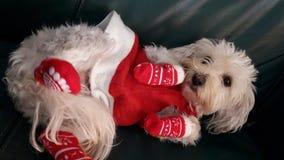 härlig gullig dräkt för jul för husdjurhundkapplöpning Royaltyfri Fotografi