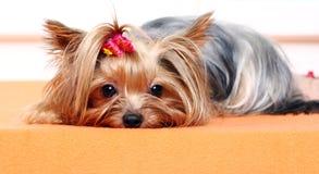 härlig gullig hundterrier york royaltyfria foton