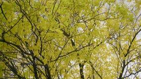 Härlig gulna lövverk på ett träd på en bakgrund av Autumn Sky stock video