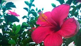 Härlig Gumamela blomma arkivbilder