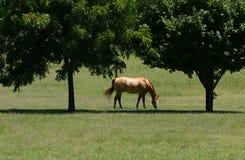 härlig häst Royaltyfri Fotografi