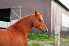 härlig häst Royaltyfria Foton