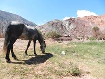 Härlig häst i en by i Jujuy arenaceous Arkivfoton