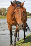 Härlig häst längs flodbanken Arkivbild