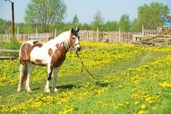 Härlig häst på en äng Fotografering för Bildbyråer