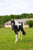 Härlig häst som går på fältet Arkivfoton
