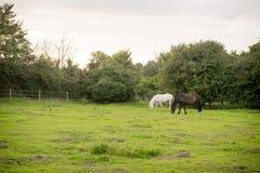 Härlig häst som poserar för kamera Arkivfoto