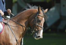 härlig hästbanhoppning Arkivbild