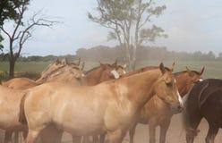 Härlig hästflock på den Argentina ranchen. Fotografering för Bildbyråer