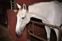 härlig hästwhite Arkivbilder