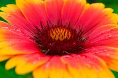 Härlig höstblomma med gula och röda kronblad Makro arkivfoto